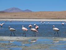 Розовые фламинго на лагуне Стоковая Фотография