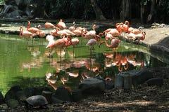 Розовые фламинго на озере Стоковые Фото