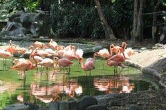 Розовые фламинго на озере Стоковые Фотографии RF