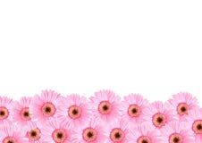 Розовые флоры солнцецвета Стоковые Фото