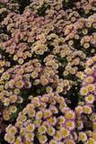 Розовые хризантемы Стоковая Фотография RF