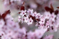 Розовые цветения вишни Стоковые Фото