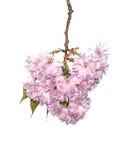Розовые цветения вишни Стоковые Изображения