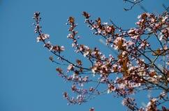 Розовые цветения вишни стоковые изображения rf
