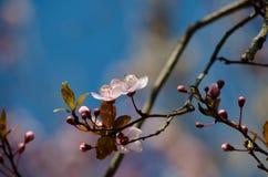 Розовые цветения вишни Стоковое фото RF
