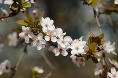 Розовые цветения вишни стоковое изображение rf
