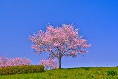 Розовые цветения вишни Стоковое Фото