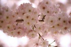 Розовые цветения вишни Стоковая Фотография RF