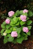 Розовые цветения гортензии на предпосылке зеленого куста листвы стоковая фотография rf
