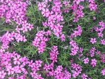 Розовые цветения земных кустов заволакивания föox или подобно стоковое изображение
