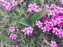 Розовые цветения земных кустов заволакивания föox или подобно стоковое изображение rf