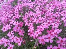 Розовые цветения земных кустов заволакивания föox или подобно стоковая фотография