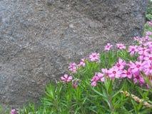 Розовые цветения земных кустов заволакивания föox или подобно стоковые фото