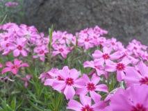 Розовые цветения земных кустов заволакивания föox или подобно стоковые фотографии rf