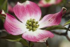 Розовые цветения кизила - Cornus Флорида Rubra Стоковые Фото