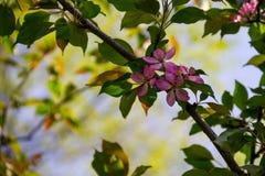 Розовые цветения краб-яблока на ветви дерева Стоковое фото RF