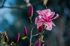 Розовые цветения 2 магнолии Стоковое фото RF