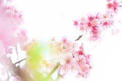 Розовые цветения на ветви на белой предпосылке Стоковые Изображения RF