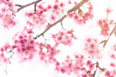 Розовые цветения на ветви во время весны зацветая на Ang Khang Doi Стоковое Изображение RF