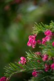 Розовые цветения Розмари паука Стоковые Изображения RF