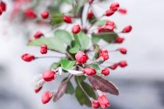 Розовые цветения Сакуры Стоковое Фото