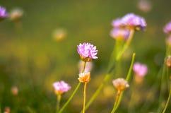 Розовые цветения цветка clower на луге стоковое изображение rf