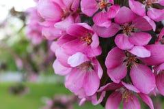 Розовые цветения Стоковое Изображение