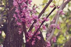 Розовые цветения Стоковая Фотография RF