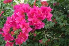 Розовые цветеня бугинвилии в саде Стоковые Изображения