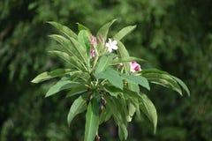 Розовые цветеня завода Plumeria Стоковое Изображение