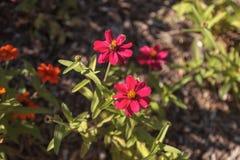 Розовые цветеня маргаритки Стоковая Фотография RF