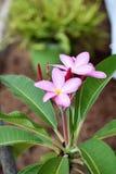Розовые цветеня Plumeria Стоковое Изображение