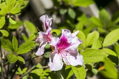 Розовые цветки азалии с яркими ыми-зелен листьями стоковые изображения rf