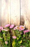 Розовые цветки астры Стоковая Фотография RF