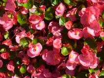 Розовые цветки бегонии в солнечности Стоковая Фотография