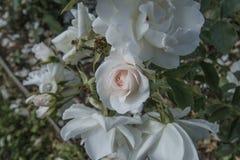 Розовые цветки белые Стоковое Изображение