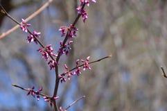 Розовые цветки вала Стоковое фото RF