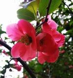 Розовые цветки весеннего дня Chaenomeles Айва Японии Стоковые Изображения RF