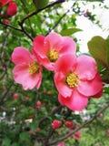 Розовые цветки весеннего дня Chaenomeles Айва Японии Стоковые Фотографии RF