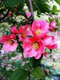 Розовые цветки весеннего дня Chaenomeles Айва Японии Стоковые Фото