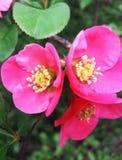 Розовые цветки весеннего дня Chaenomeles Стоковое фото RF