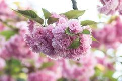 Розовые цветки вишневого цвета на весне Стоковые Фотографии RF