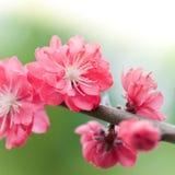 Розовое вишневое дерево Стоковое Изображение RF