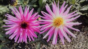 Розовые цветки внутри злят, Франция стоковое фото