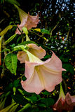 Розовые цветки в гористых местностях Камерона Стоковое Изображение