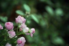 Розовые цветки в городке Стоковое Изображение RF