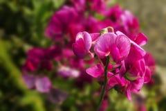 Розовые цветки в лете Стоковая Фотография