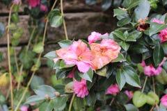 Розовые цветки в зиме Стоковая Фотография