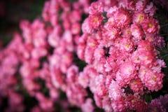 Розовые цветки в саде с влиянием нерезкости Стоковые Изображения