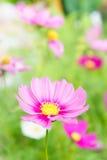 Розовые цветки в саде, солнечный свет i цветков космоса красивый Стоковое фото RF